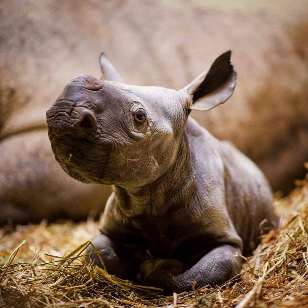 This is a beautiful very young baby black rhino which has been born in captivity. These breeding programmes are really important to keep their numbers up and to combat potential extinction. Let's hope to see many more baby rhino faces in the future!