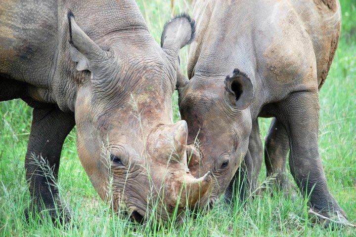 Two-Rhinos-Eating-Grass.jpg