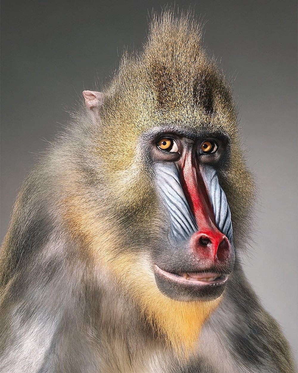 """Mandrills form the largest social groups of any non-human primate, with a troop of 1,300 once recorded in the forests of Gabon. With their striking faces and eyes, they have evolved some of the most spectacular colouration of any mammalian species, the intensity of which signifies their social and sexual status. Sadly, it is not just their appearance that is appealing; mandrill meat is considered a delicacy in West Africa, and it is part of a growing trade, with tons of bush meat being smuggled into western Europe every week. Logging and farming are limiting their places of refuge, and these remarkable animals are in urgent need of stronger protections."" Tim Flach"