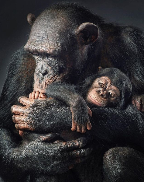 """All of the Great Ape species are Endangered... except for one, us."" Tim Flach"