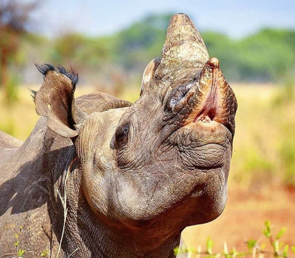 """""""This is Kamuchacha, one of our adult black rhino cows, displaying the """"flehmen response"""" after picking up the scent of where a male black rhino had passed by earlier. The flehmen response facilitates the transfer of pheromones and other scents into the Jacobson's organ located above the roof of the mouth."""" Imire Wildlife Conservation"""