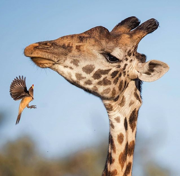 A Yellow-billed oxpecker trying to navigate its way onto this male giraffe's head. These birds actually benefit these animals by feeding on ectoparasites and reducing their tick load.