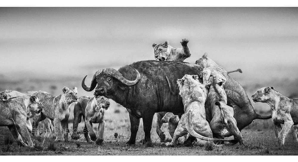 """""""One moment from a dramatic scene, a pride of Lions hunting a bull Buffalo in the grasslands around Musiara Marsh. Almost one hour of battle for life, eventually won by the lions. This image is included in my book """"Light and Dust"""", available on Amazon and in bookstores worldwide. Masai Mara, October 2014"""" . Photo & caption from  @federico_veronesi"""