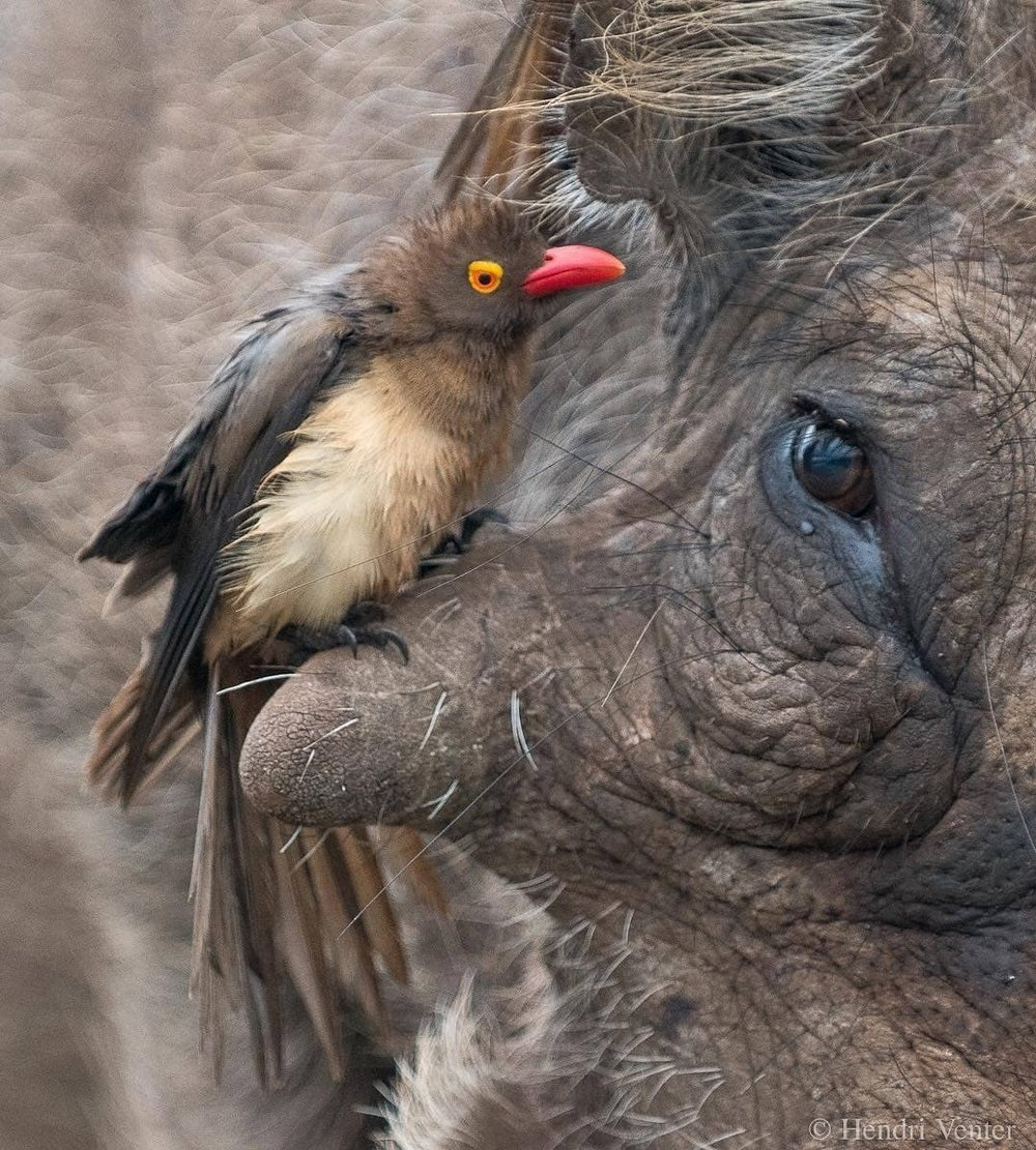 Red-billed oxpecker perched on the infraorbital wart of a warthog.