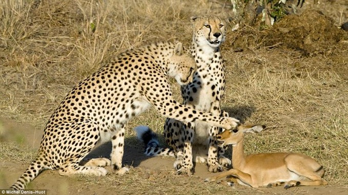 25491 cheetahs and deer.jpg