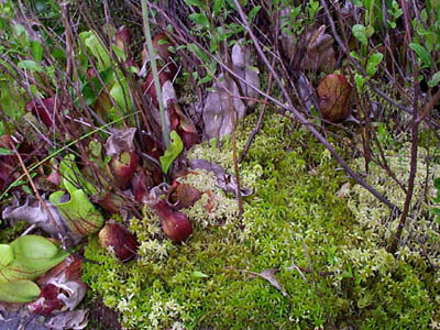 Sphagnum Moss (Sphagnum sp.) and Pitcher-Plants (Sarracenia purpurea)