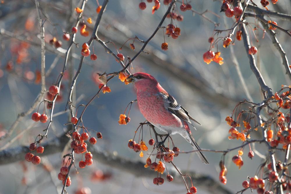 Pine Grosbeak IMG_4278.jpg
