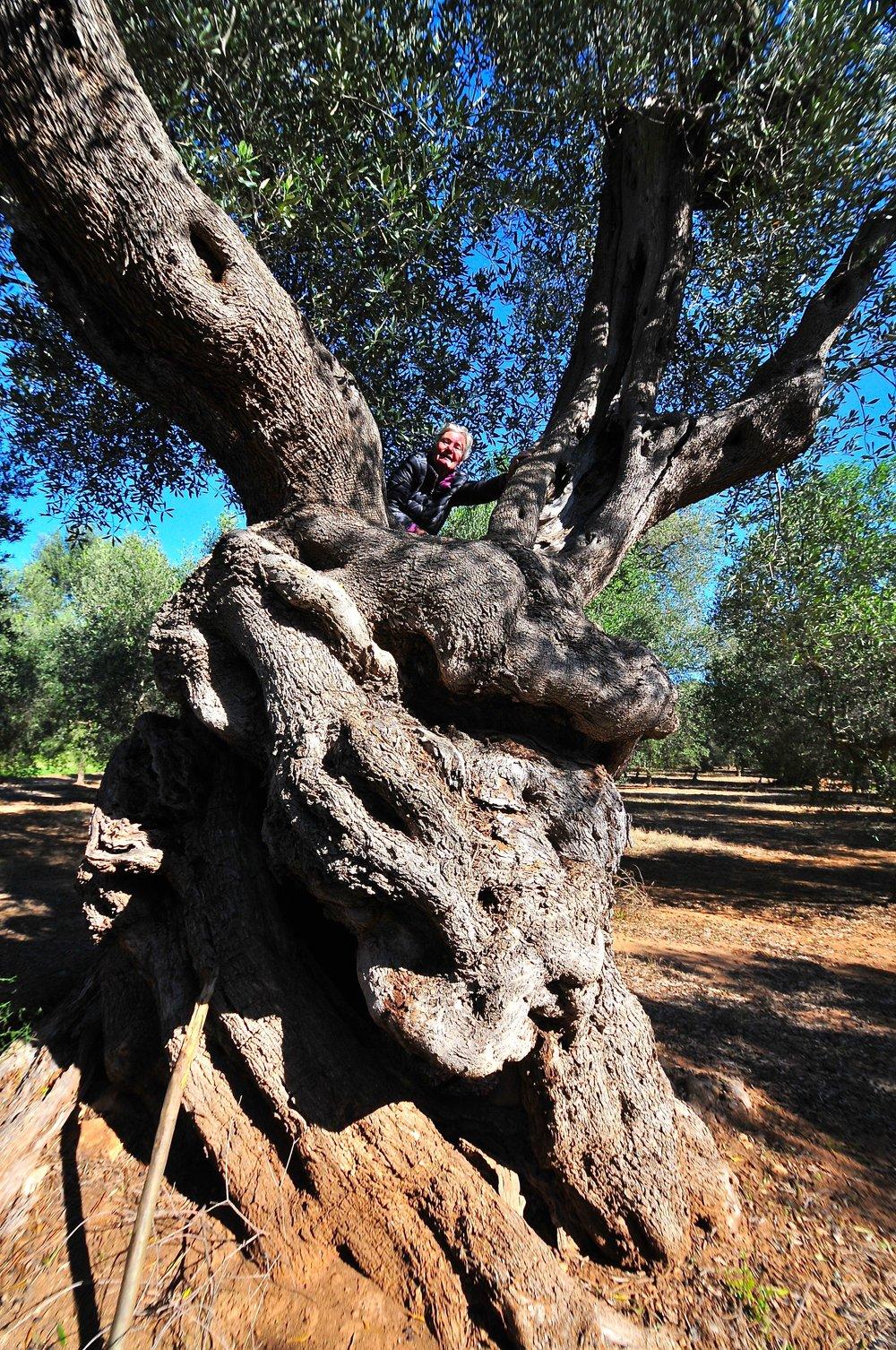Oliventrærne i Puglia  kan værwe over 1000 år gamle Foto Kjell Helle-Olsen (1) – Kopi.jpg