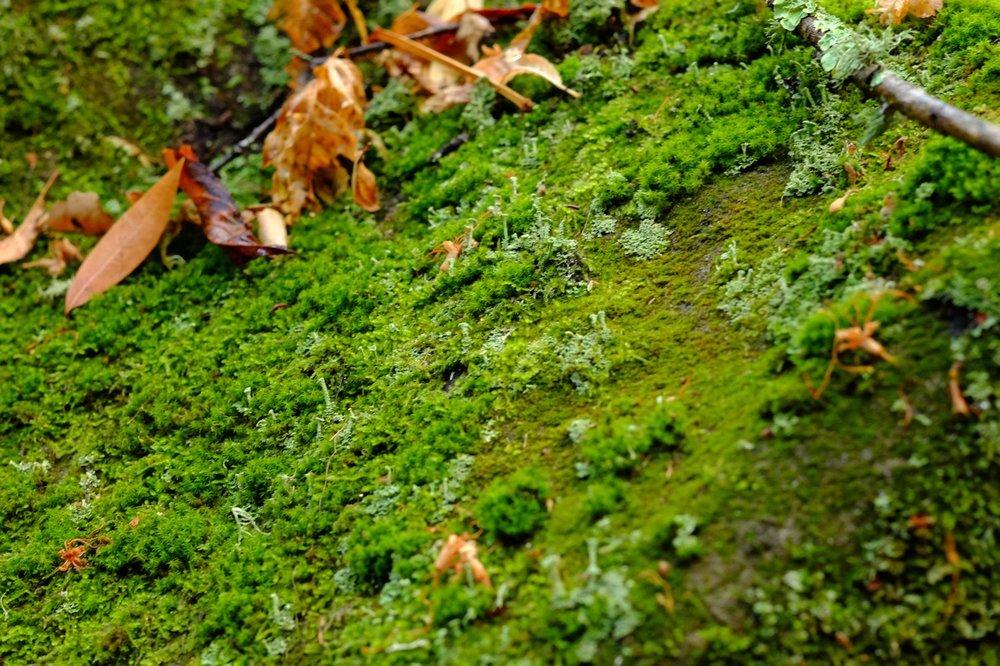 Trumpet lichen peeking through communities of mosses, after the first winter rain.