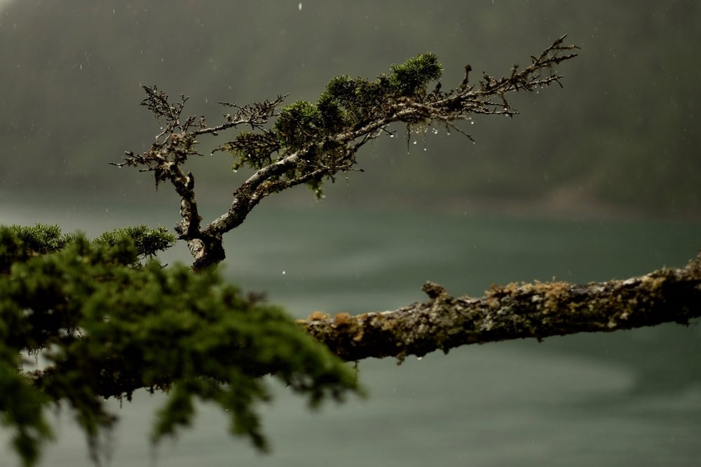 Rain on the branch of a Mountain Hemlock in Resurrection Bay, Alaska (where it's wet in summer and somewhat snowy in winter).