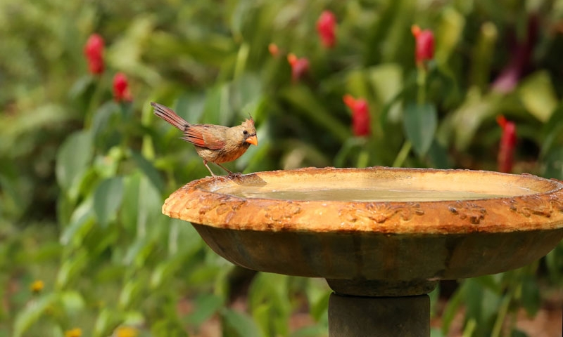 Female cardinal at bird bath, spring clean up and lawn care by Ivanoff.
