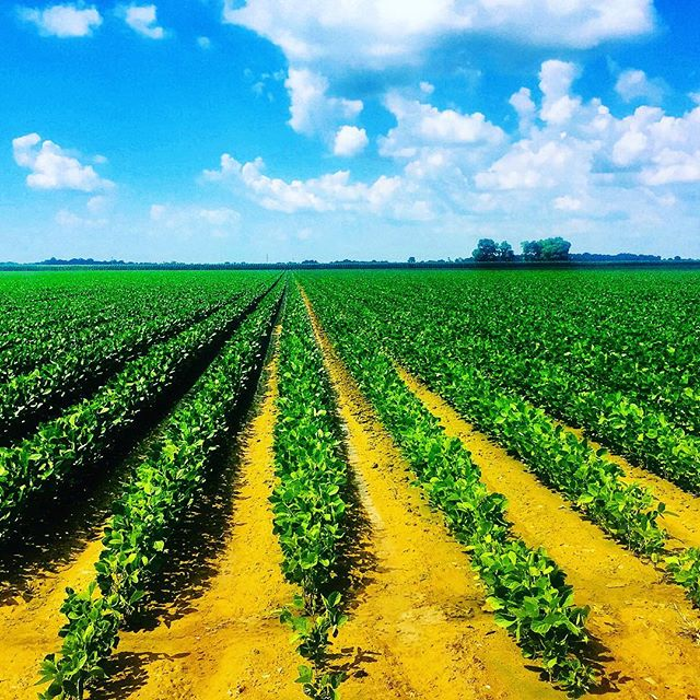 EPA extends dicamba registration 2 years. #cotton #soybeans 🏛#farmpolicy 📈 Read news release here: https://www.epa.gov/newsreleases/epa-announces-changes-dicamba-registration