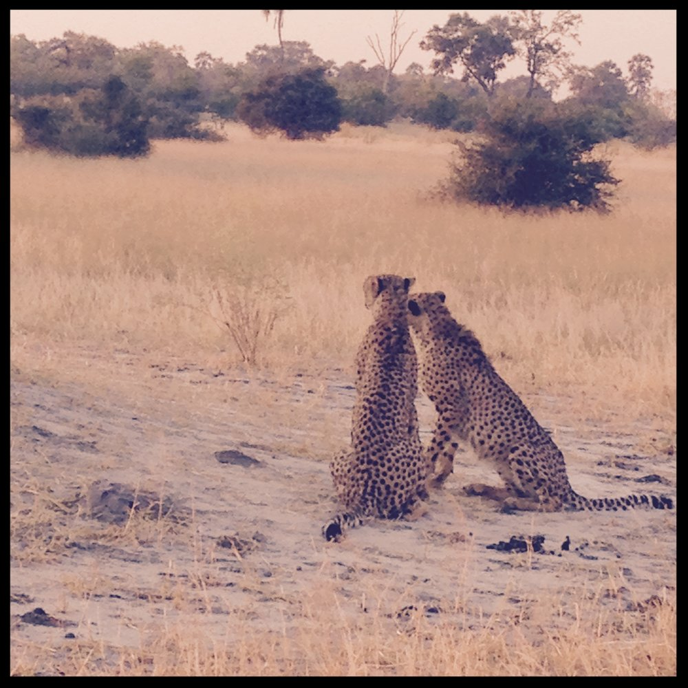 Cheetah's enjoying each other while we enjoy watching them -