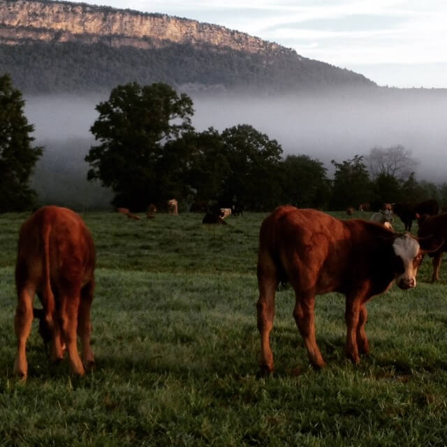 Two grass-fed beef cows grazing on Kiernan Farm with the Shawangunk Mountain view