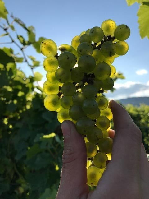 Hand holding a cluster of translucent Chardonnay grapes.