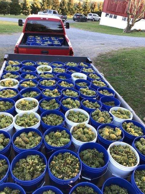 Truck and trailor full of Bruynswick Vineyard's harvest of Chardonnay grapes.