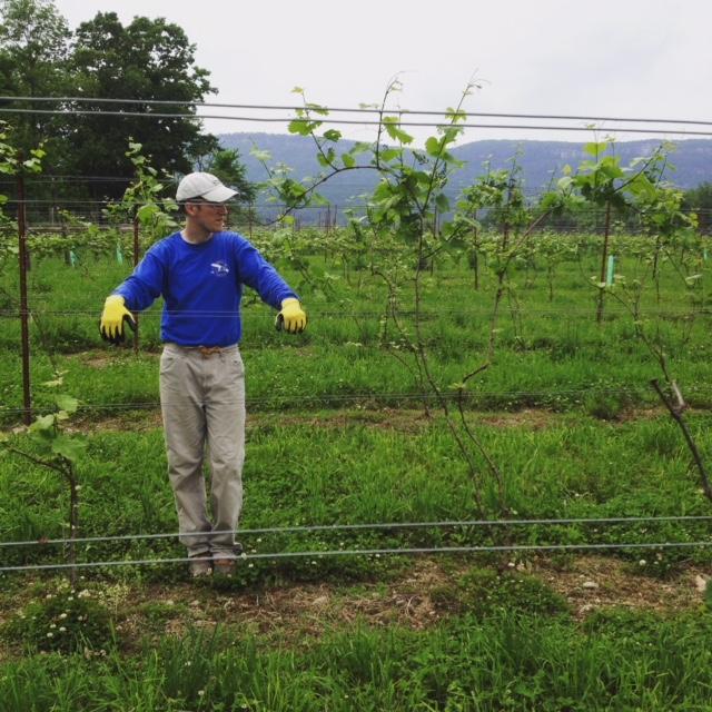 Kiernan farmer looking over his grape vines.