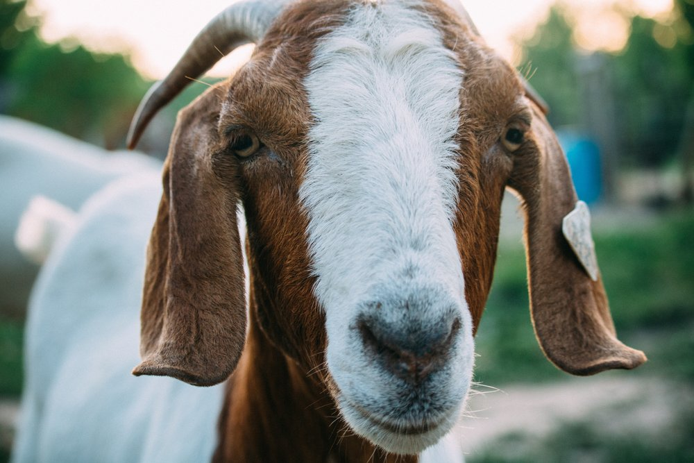 Goat. Photo by  Fineas Anton  on  Unsplash