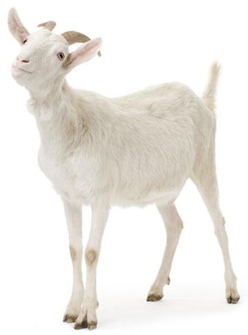 homepage_goat_e.jpg
