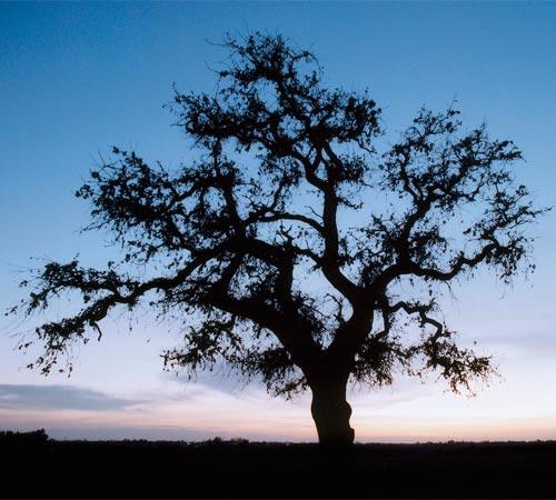 Beard Land Tree