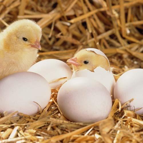 hatching-eggs-500x500.jpg