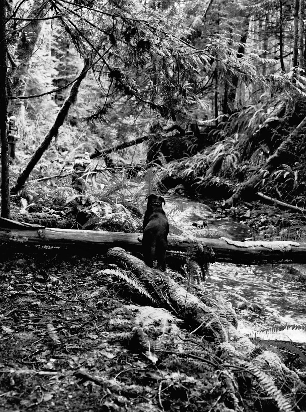 Seve Dog at the Creek Crossing in Bamberton, BC
