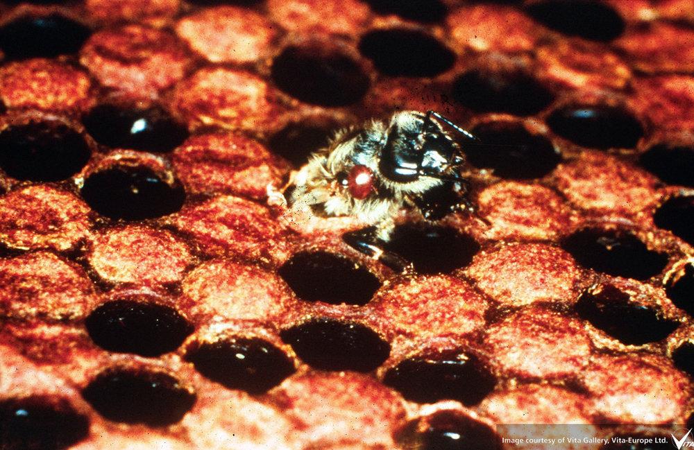 varroa-damaged-worker.jpg