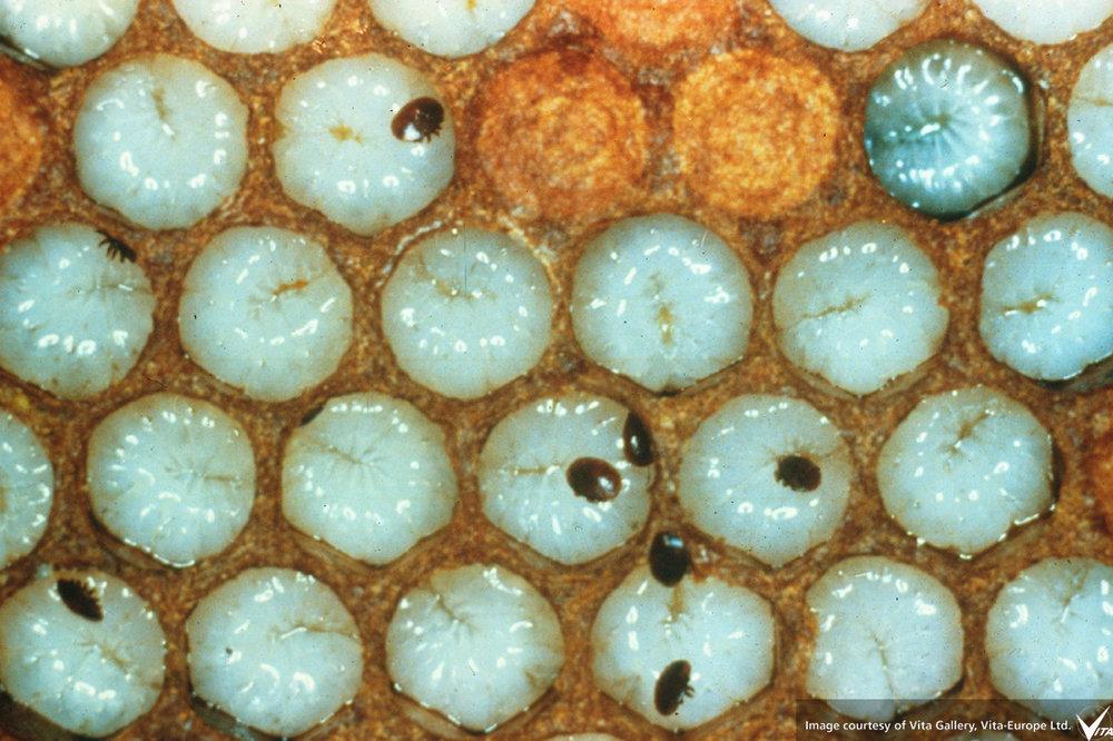 varroa-mites-unsealed-larva.jpg