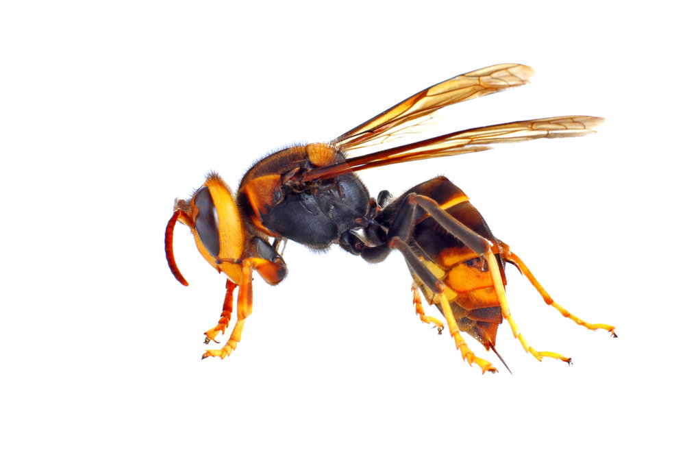 The Asian hornet (Vespa velutina)