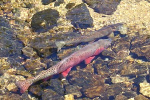 Native cutthroat trout enjoy strong protections under the new Colorado Roadless rule