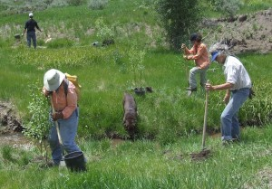 TU volunteers planting willows along Trapper Creek
