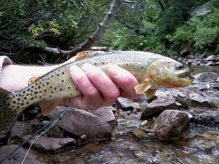 A healthy Hermosa Creek cutthroat