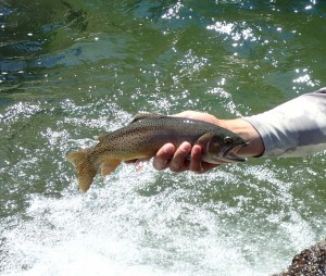 Yellowstone Cutthroat- Walchak