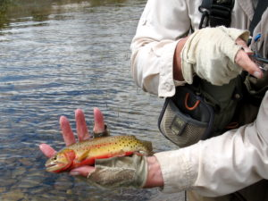 native-greenback-cutthroat-trout-1