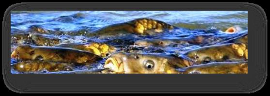 flyfishingcarp2