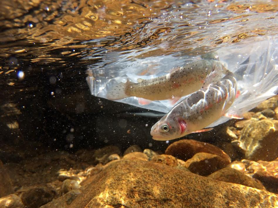 Native Greenback Cutthroat species being released into the wild.