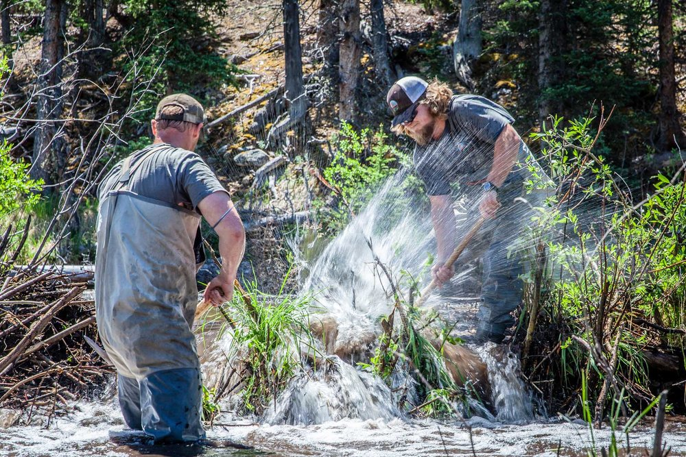 Volunteers working to dislodge a disruptive beaver dam along Rock Creek drainage in Colorado. Image courtesy of:  Basin+Bend .