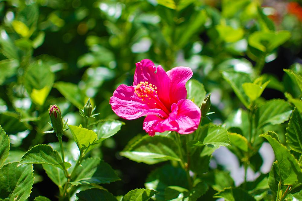 Hibiscus - Hibiscus rosa-sinensis