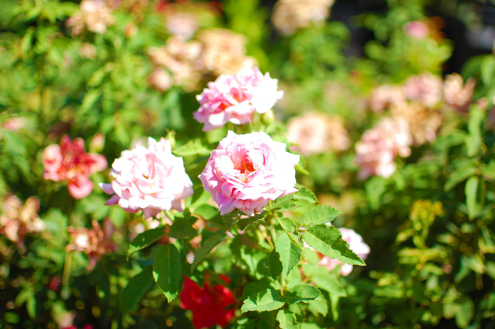 Rose Shrub - Rosa