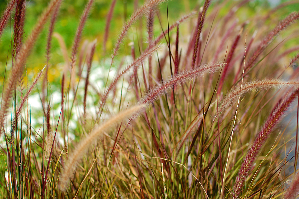 Purple Fountain Grass - Pennisetum setaceum 'Rubrum'