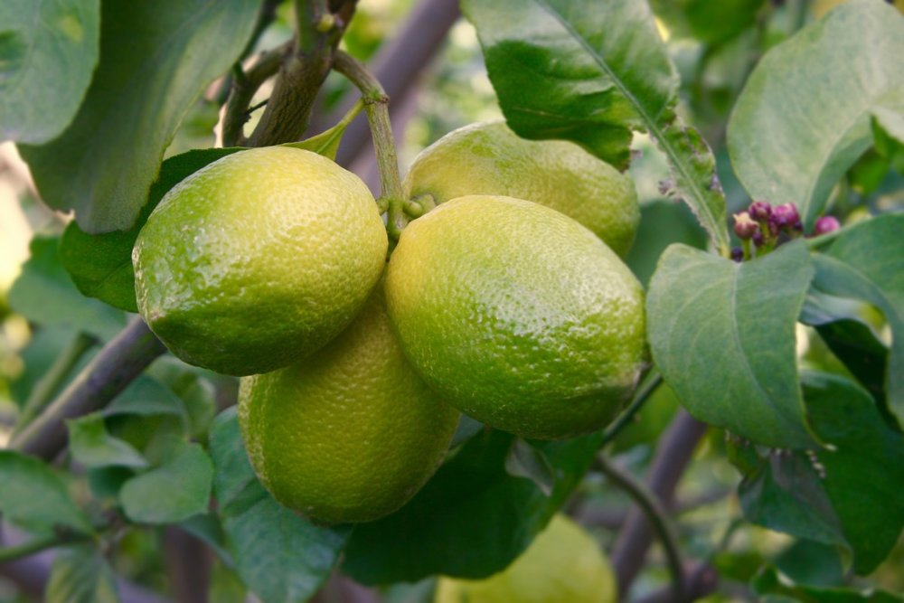 lemon_lemon_tree_fruit_green_yellow_citrus_growth_leaves-1052049.jpg