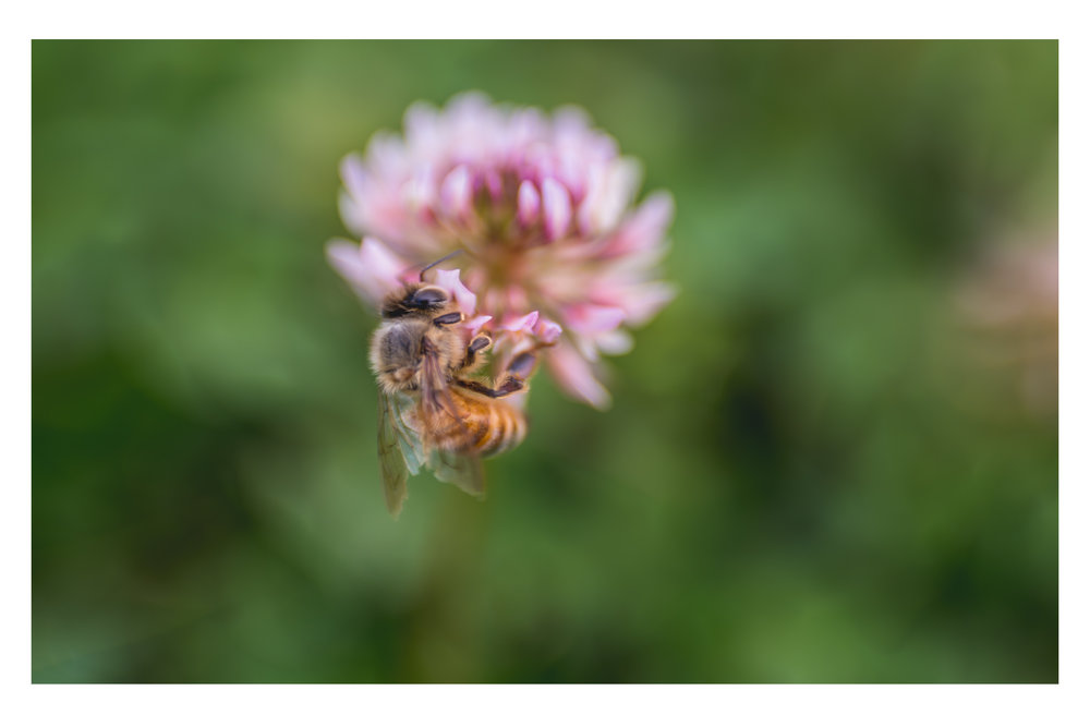 the bee and the pink clover 2.jpg