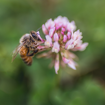 The Bee and the Pink Clover