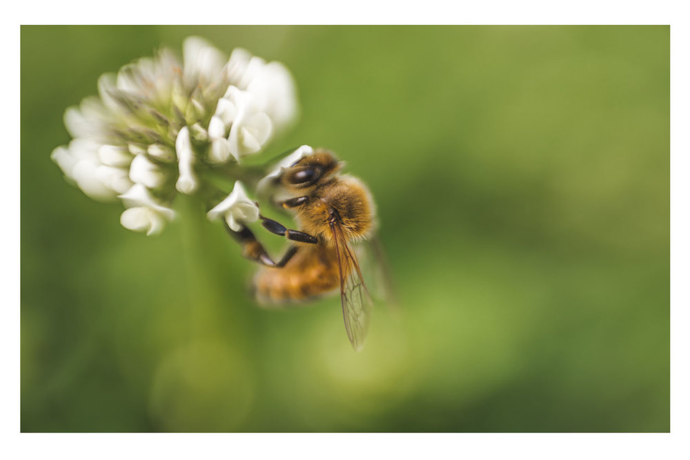 the clover and the bee.jpg
