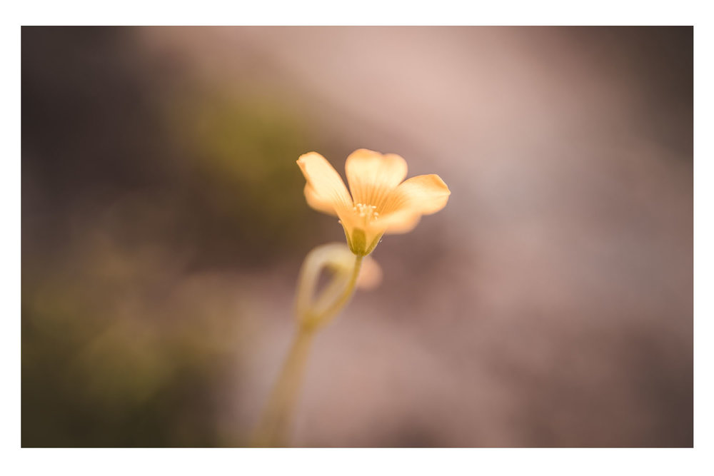 with the golden light I bloom.jpg