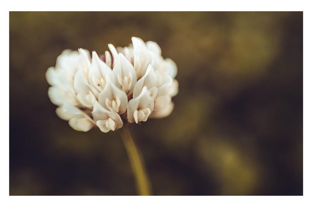 when the clover bloomed.jpg