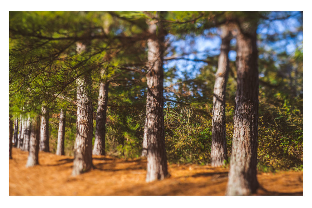trees in the afternoon light.jpg