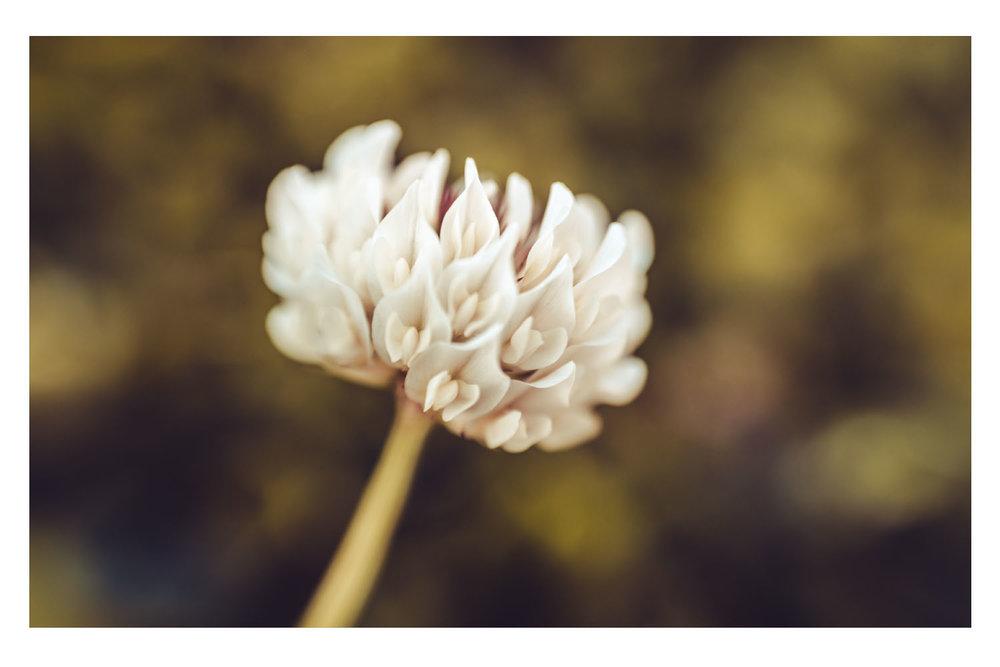 a sunday morning clover.jpg