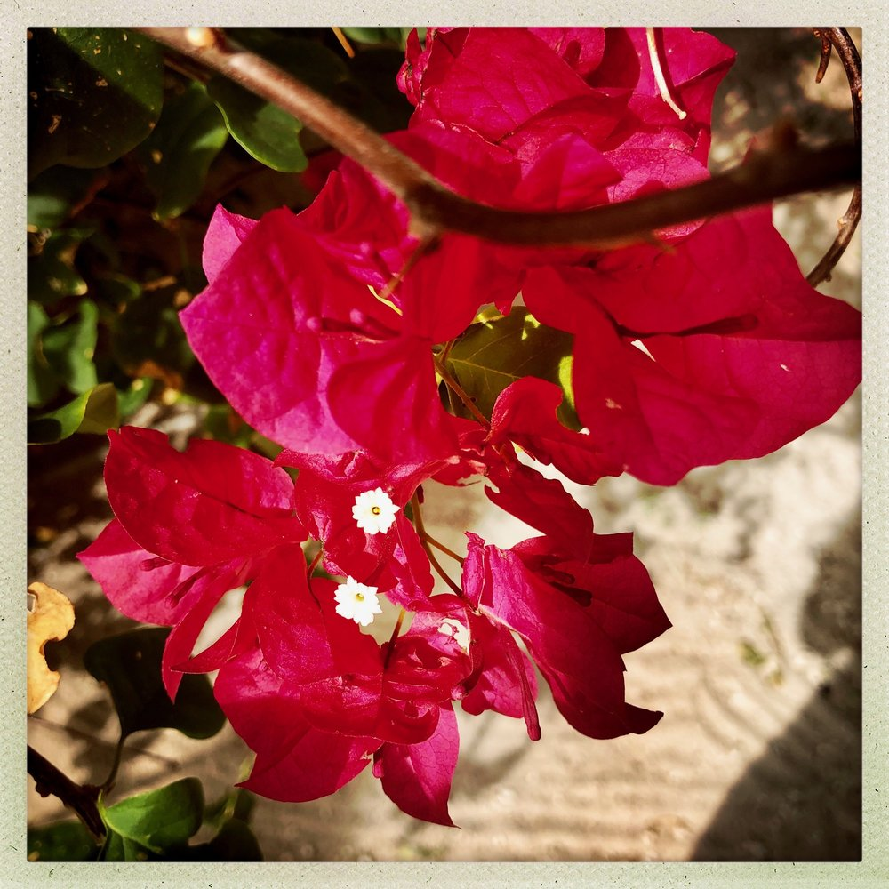 Open Air Places Bougainvillea on Abaco.jpg