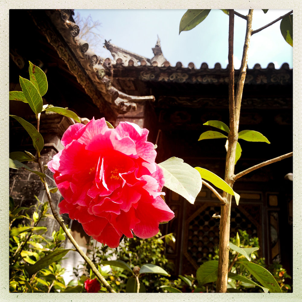 One of many precious blooms in the Camellia Temple